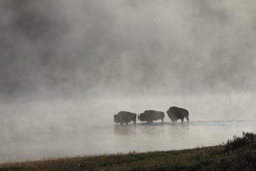 stado żubrów przemierzających rzekę