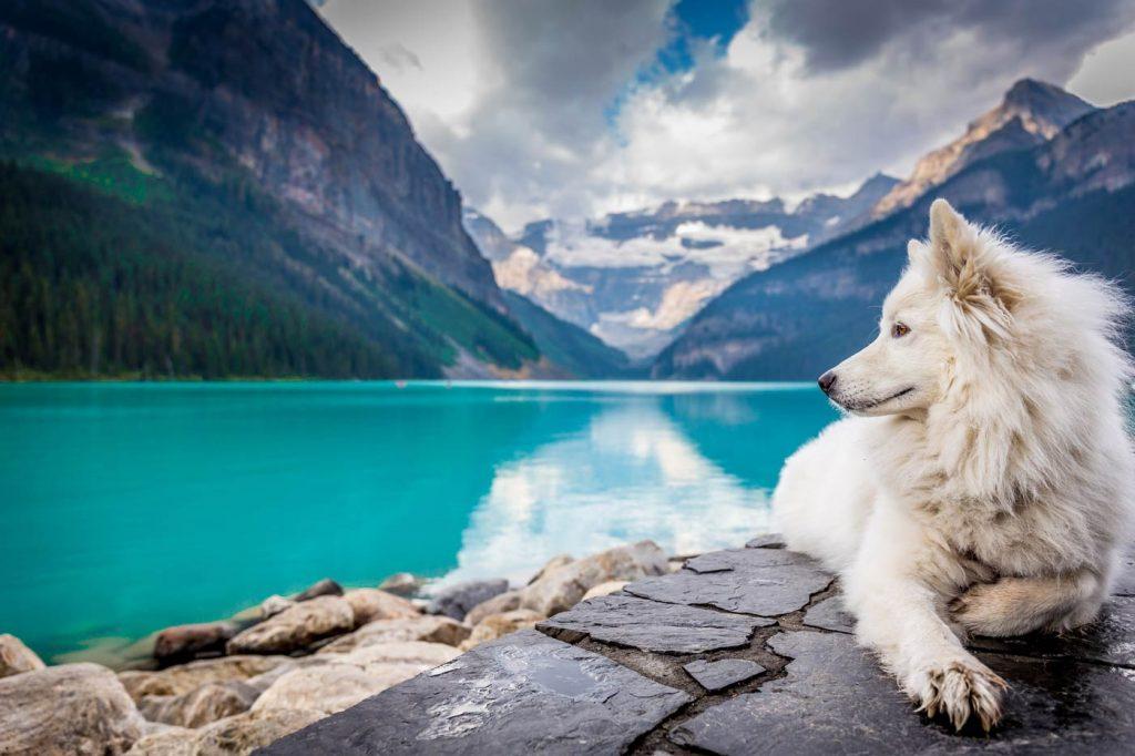 Piękny biały pies leży na skale nad jeziorem.