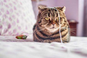 Kot niezainteresowany zabawą